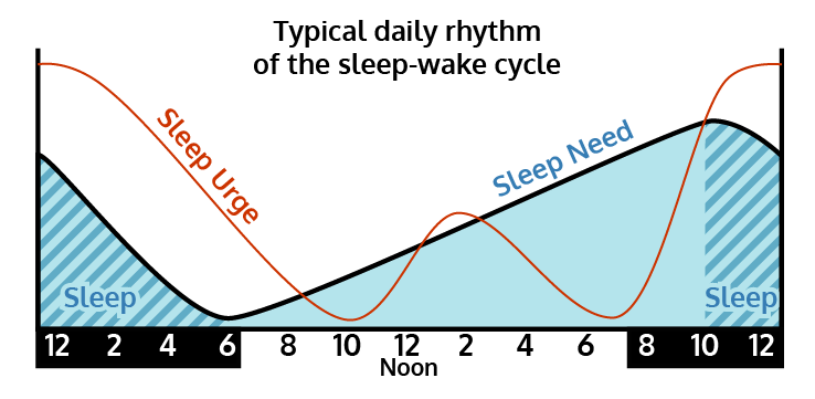 Graph of the typical daily rhythm of a normal sleep-wake cycle